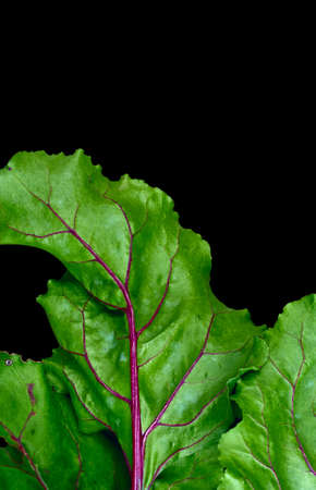 haulm: Fragment of bright green beet haulm closeup on isolated black background