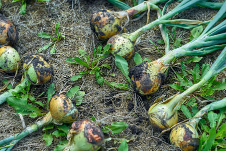 dug: Onion harvest. Dug bow lying and drying on the ground sunny day, top view