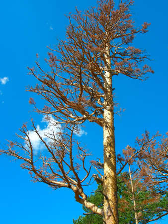 The top of dried up pine on background of clear blue sky closeup Stockfoto