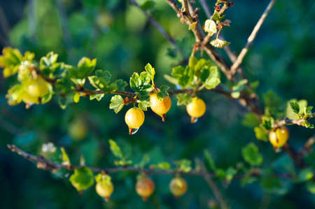 Branches of gooseberry with raindrops on the berries closeup Stockfoto