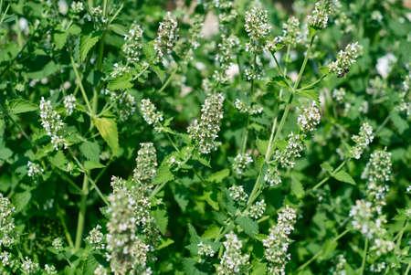 Blooming motherwort in the garden, herbal background