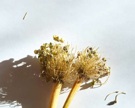 Seeds welsh onion on white background in the sunshine