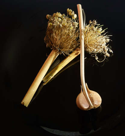 Garlic and dry welsh onion on black background, organic vitamin