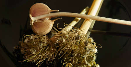 Garlic and dry welsh onion on black background, healing product Stock Photo - 103112539