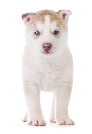 Cute little puppy on white background photo
