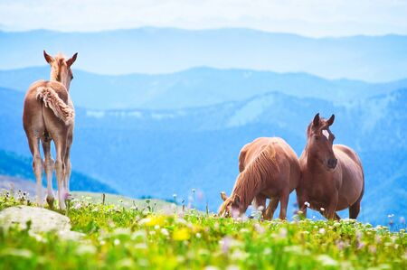 Wild horses graze on mountain meadows of the Altai photo