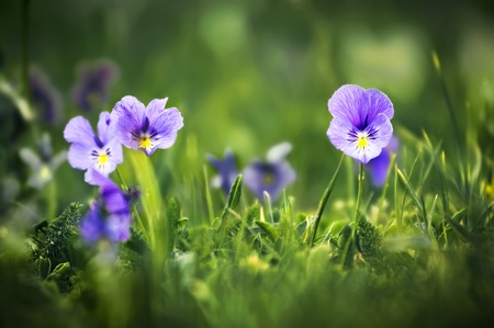 violet flowers in green grass photo