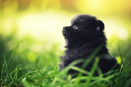 Black fluffy puppy of pomeranian spitz. Dog on green grass in summer park