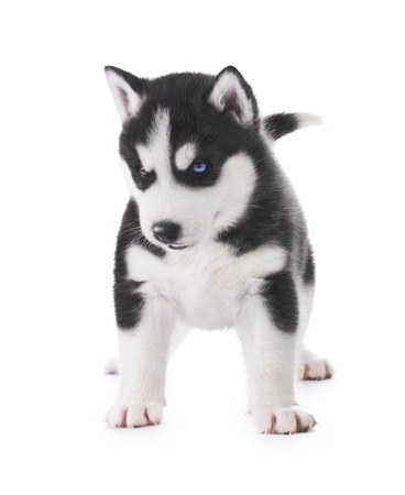 Cute little husky puppy photo