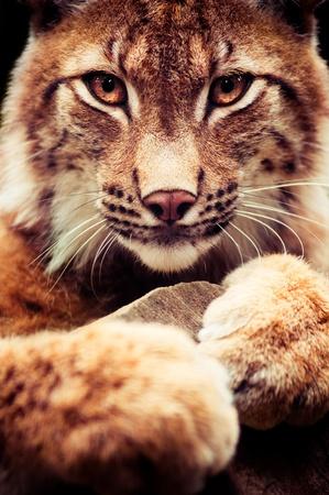 Muzzle of wild lynx close-up Stock Photo