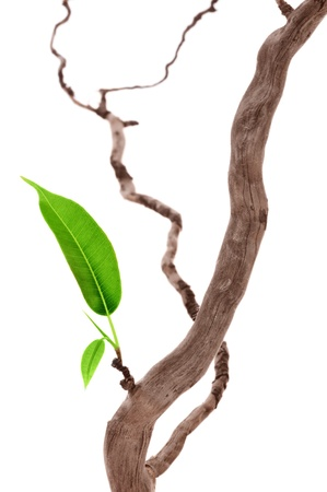 Single groen blad op het droge tak