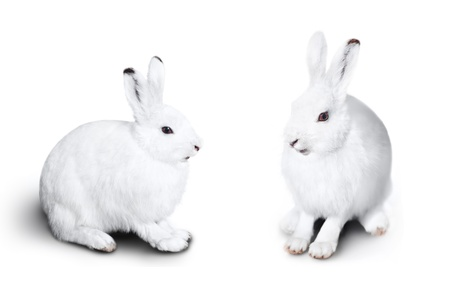 Two cute white rabbit on a white background