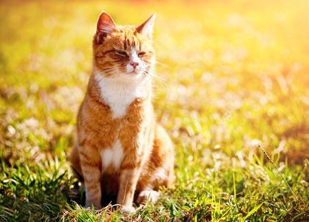 Rode kat loensen in de felle zon Stockfoto