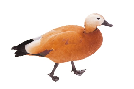 Duck on white background  Ruddy Shelduck photo
