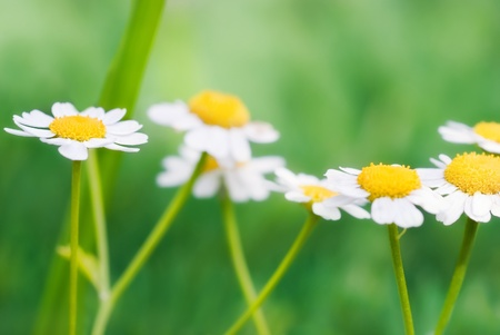 Flowers of camomile