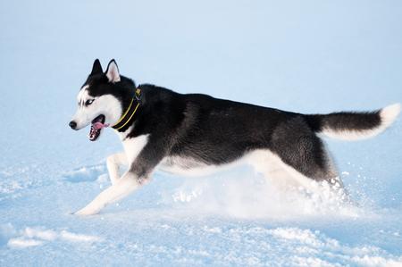 Siberian husky run on snow
