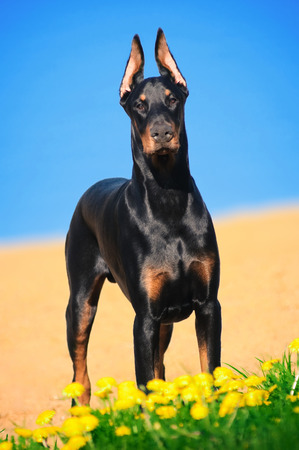Portrait of the black doberman pinscher Stock Photo