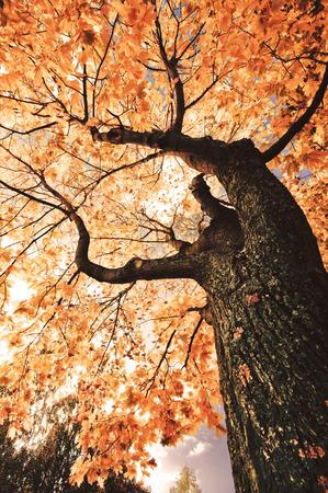 Yellow autumn tree. Sunny fall day under a tree Stock Photo
