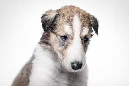 Portrait of cute little russian borzoi puppy isolated on white background