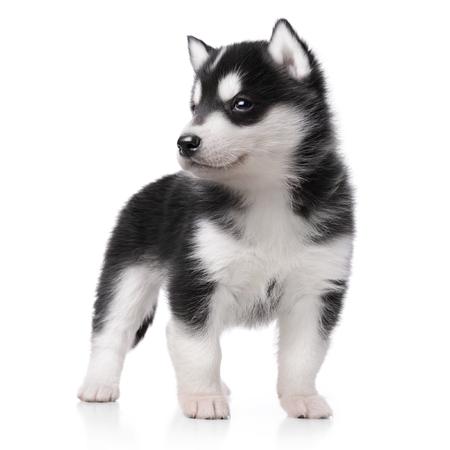 Schattige kleine husky puppy geïsoleerd op witte achtergrond