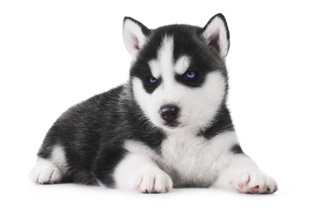 blue eye husky: Cute little husky puppy isolated on white background