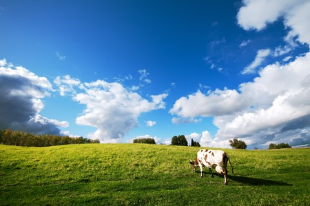 cattle grazing: Cow grazes on the green meadow
