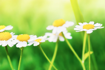 camomile: Flowers of camomile