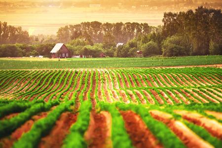 GRANJA: Campo agrícola con una casa en el fondo Foto de archivo