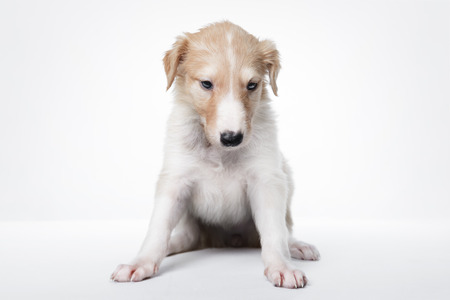 foxhunt: Portrait of cute little russian borzoi puppy isolated on white background