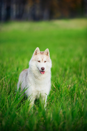 grass and sky: Portrait of siberian Husky