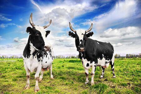 pasture: Herd of cows grazing in meadow Stock Photo