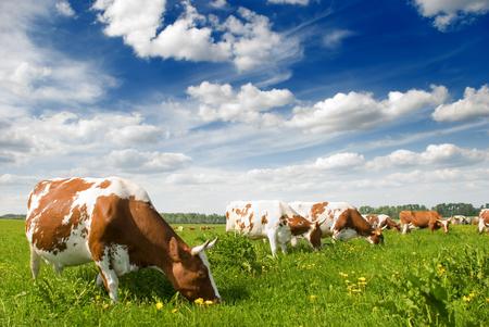 grazing: Herd of cows grazing in meadow Stock Photo