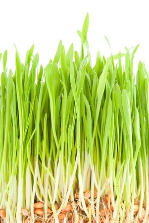 semen: Green shoots of young plants and roots