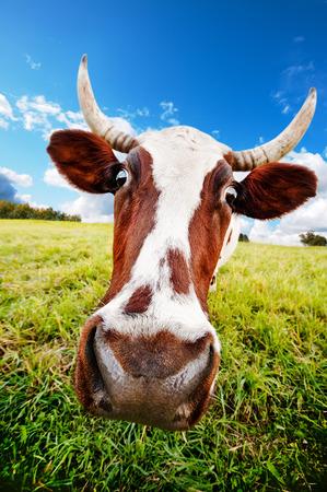 graze: One cow graze on green meadow Stock Photo
