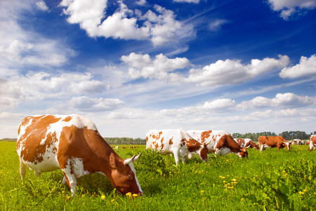 Herd of cows grazing in meadow Stock Photo