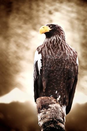 raptorial: American sea eagle portrait