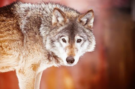 raptorial: Closeup portrait of a wild wolf Stock Photo