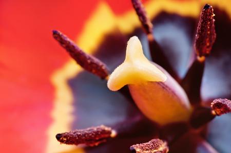 anthers: Beautiful purple tulip inside, macro shot