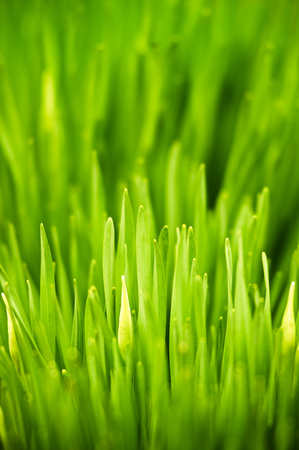 spring green: Fresh green spring grass Stock Photo