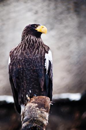 aigle royal: Mer américaine portrait d'aigle