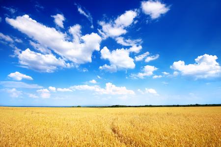 青空: 麦畑と青い空の雲