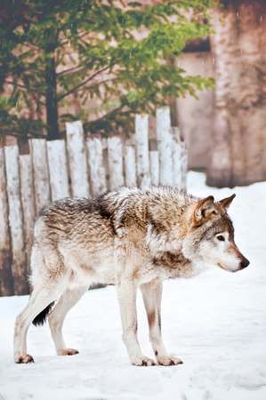dormant: Wild wolf on the snow