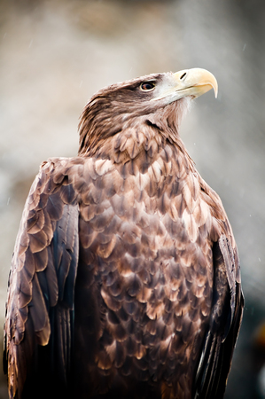 sea eagle: American sea eagle portrait