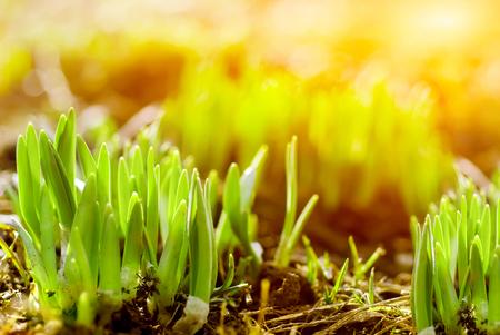 beauty in nature: Fresh green grass in sunbeam