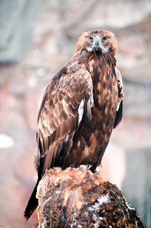 aguila real: Retrato de un águila dorada  Foto de archivo