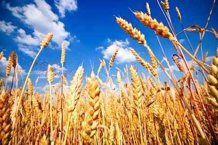 cosecha de trigo: Campo de trigo y cielo azul con nubes
