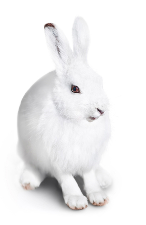 white fur: White cute rabbit on a white background