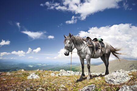 graze: Wild horse graze on mountain meadows of the Altai