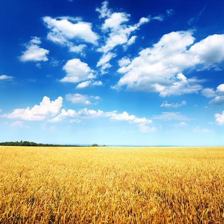 cielo azul: Campo de trigo y cielo azul con nubes