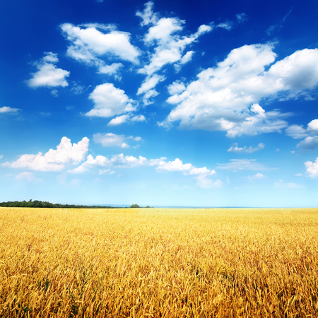 to field: Wheat field and blue sky with clouds